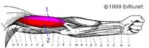 bicepsinside